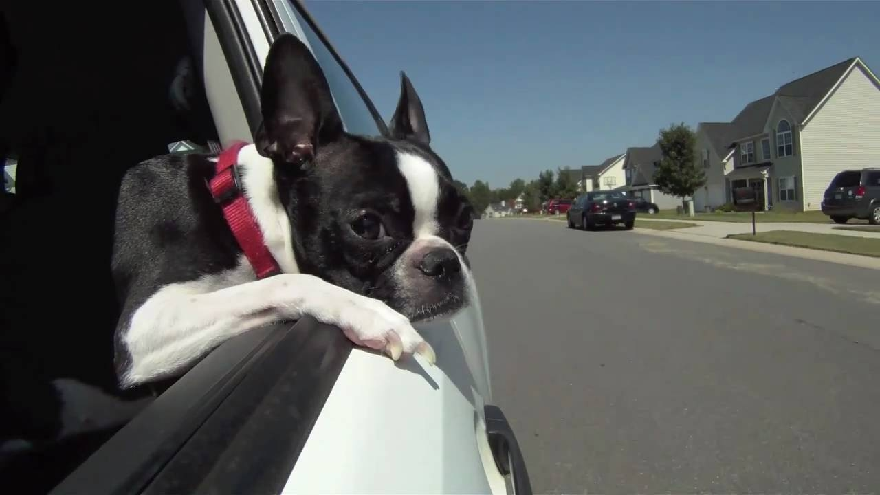 Top 5 Tips For Car Travel With Your Boston Terrier